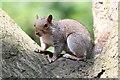 SK9469 : Squirrel in Woods near Hartsholme Lake by J.Hannan-Briggs