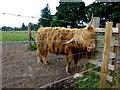 NN6108 : Hamish the bull by Kenneth  Allen
