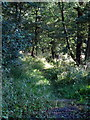 SP7122 : Bridleway through Finmere Woods by Philip Jeffrey