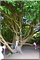 NZ0284 : The Country's Best Climbing Tree, Wallington Hall by Paul Buckingham