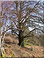 SN7673 : Ancient tree, Hafod estate by Rudi Winter