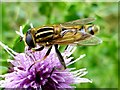 H4772 : Hoverfly, Mullaghmore by Kenneth  Allen
