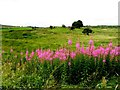 H6676 : Rosebay willowherb, Cregganconroe by Kenneth  Allen