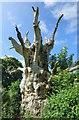 ST5239 : The Old Oak by Bill Nicholls