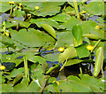 J2764 : Water lilies, Lisburn by Albert Bridge
