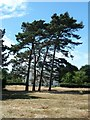SU7902 : Cobnor House and pines by Rob Farrow