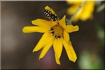 SJ3999 : The hoverfly Scaeva pyrastri, Melling by Mike Pennington