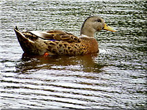 H4572 : Duck, Omagh by Kenneth  Allen