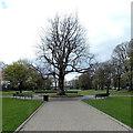 SU9677 : Edwardian Coronation plane tree in Alexandra Gardens, Windsor by Jaggery