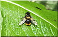 TM0127 : Hoverfly (Volucella bombylans) by Peter Pearson