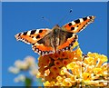 SJ3301 : Small Tortoiseshell butterfly (Aglais urticae) by Dave Croker