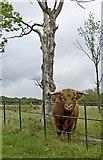 SJ4093 : Bull in Croxteth Country Park by Paul Harrop