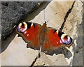 SK4693 : Peacock butterfly on a wall in Dalton Magna by Neil Theasby