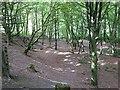 NO2248 : Beech woodland, Den o'Alyth by Oliver Dixon