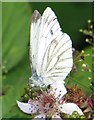 SP3915 : A small white butterfly on brambles by Steve Daniels