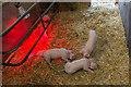 TL3451 : Piglets under Heat Lamp, Home Farm, Wimpole Hall, Cambridgeshire by Christine Matthews