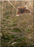 TQ1450 : Butterflies at Ranmore (1): Brown Argus (Aricia agestis) by Stefan Czapski