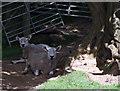SJ9892 : Sheep by Stephen Burton