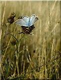 TQ1450 : Butterflies at Ranmore (3): Chalkhill Blue (Lysandra coridon) by Stefan Czapski