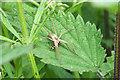 TM1631 : Nursery Web Spider (Pisaurina mira) by Peter Pearson