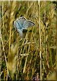 TQ1450 : Butterflies at Ranmore (5): Chalkhill Blue (Lysandra coridon) by Stefan Czapski
