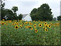TF2132 : Sunflower field, Redhouse Farm by JThomas