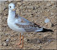J4774 : Juvenile black-headed gull, Kiltonga, Newtownards (1) by Albert Bridge