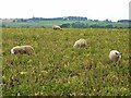 NY9919 : Sheep folded on root crops by Oliver Dixon