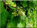 H3173 : Wild hazelnuts, Lackagh by Kenneth  Allen