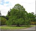 SO3672 : Oak on the green-Brampton Bryan, Herefordshire by Martin Richard Phelan