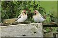 HP6514 : Arctic Redpolls (Carduelis hornemanni), Norwick by Mike Pennington