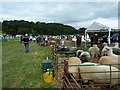 SJ1901 : The sheep pens at Berriew Show by Penny Mayes