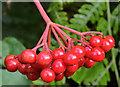 J3773 : Cotoneaster berries, Belfast (3) by Albert Bridge