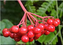 J3773 : Cotoneaster berries, Belfast (3) by Albert Bridge
