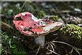 SO0561 : Fly Agaric, Rock Park, Llandrindod Wells, Powys by Christine Matthews