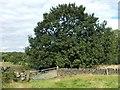 SK3196 : Oak tree near Hazelshaw Farm by Neil Theasby