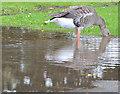 J3675 : Greylag goose, Victoria Park, Belfast by Albert Bridge
