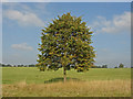 SU9574 : Poplar tree, Windsor Great Park by Alan Hunt