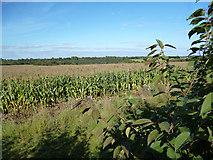 SU7995 : Cornfield, Studley Green by Des Blenkinsopp