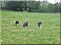 NT9447 : Herdwick sheep at Thornton by Barbara Carr