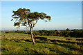 NY9918 : Scots pine at edge of moorland by Trevor Littlewood
