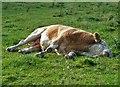 NT4527 : Bull having a nap – do not disturb! by Walter Baxter