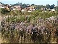SX9066 : Michaelmas daisies, former Barton landfill by Derek Harper