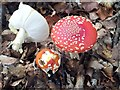 SP9207 : Fly Agaric (Amanita muscaria) group by Rob Farrow
