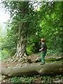 SS9700 : A magic tree at Killerton by Humphrey Bolton