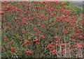 NZ9701 : An abundance of berries by Pauline E