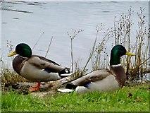 H4572 : Ducks, Omagh by Kenneth  Allen