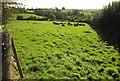 SX3561 : Cattle near Trevashmond by Derek Harper