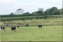 SM8625 : Cattle grazing near Pen-y-gors by Simon Mortimer