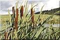 SO0953 : Bulrushes by Bill Nicholls
